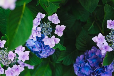 hydrangeas flower violet teams background