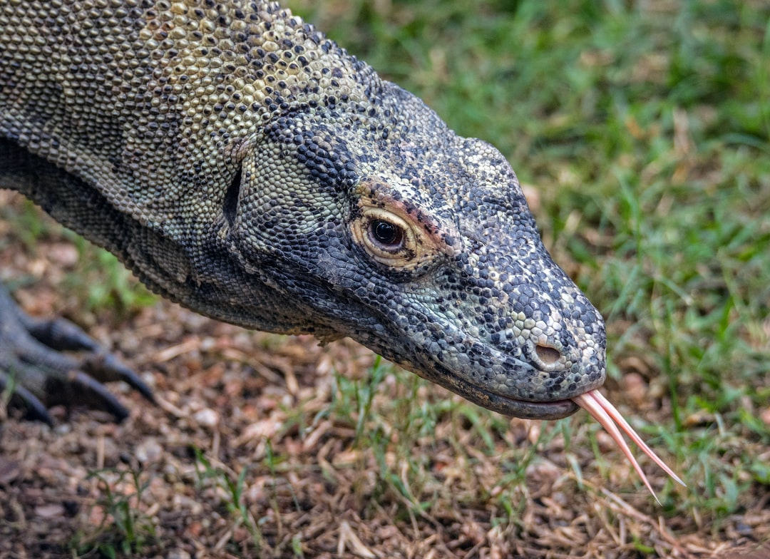 A Komodo Dragon wanders around its enclosure in the hope of finding something to eat. They are the biggest type of lizard in the world and are found on a few islands in Indonesia.