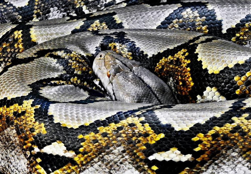 python resting its head on body