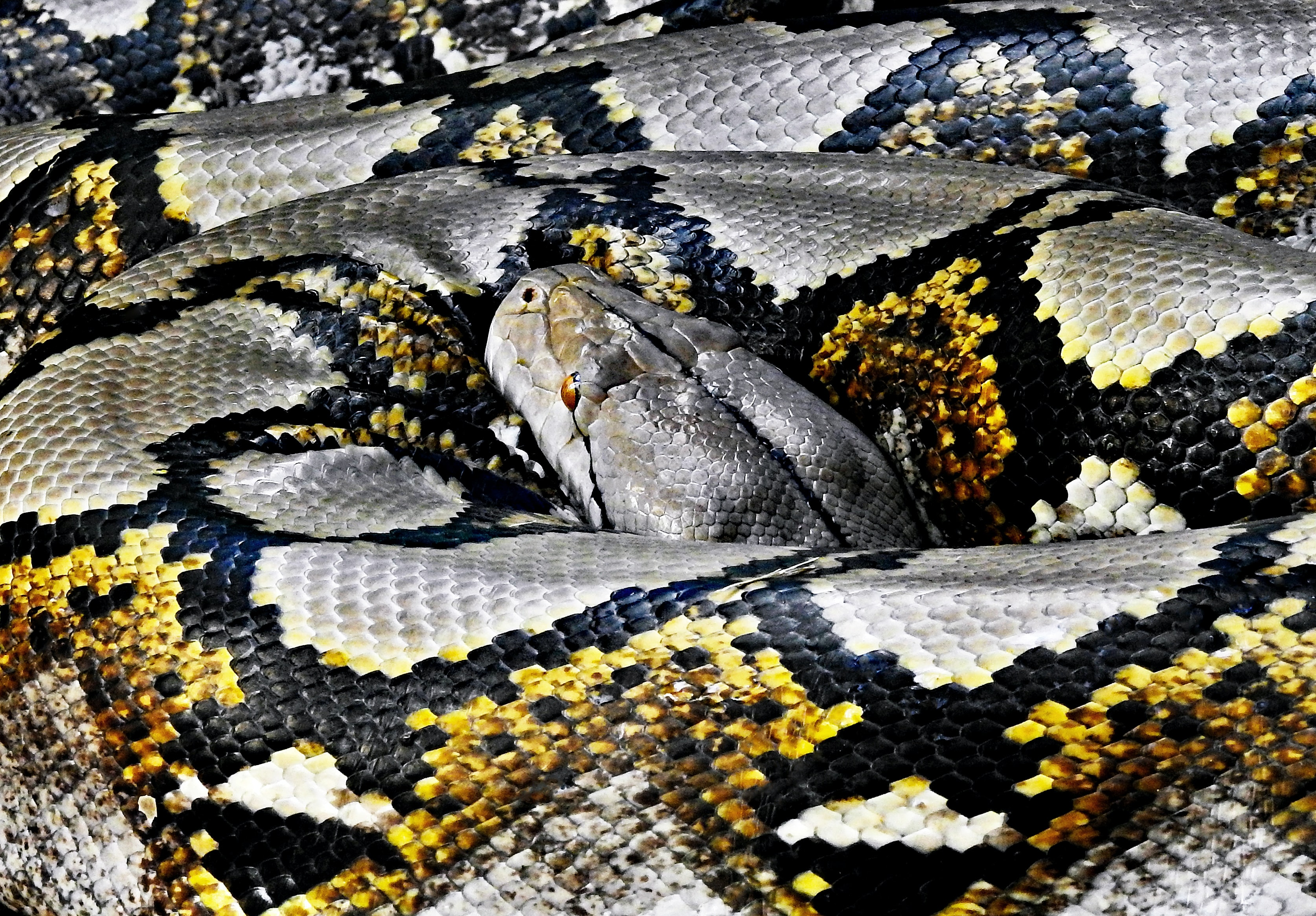 python resting its head on body