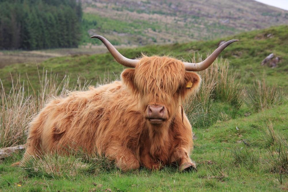 yak reclining on grass field