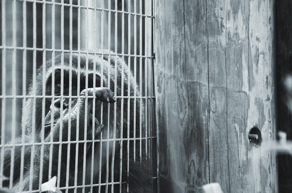 grayscale photo of primate in cage