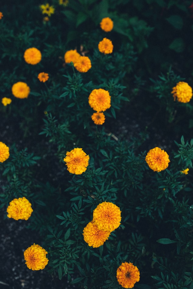 Mexican Marigold | 63 Amazing Pest And Insect Repellent For Plants You Should Know