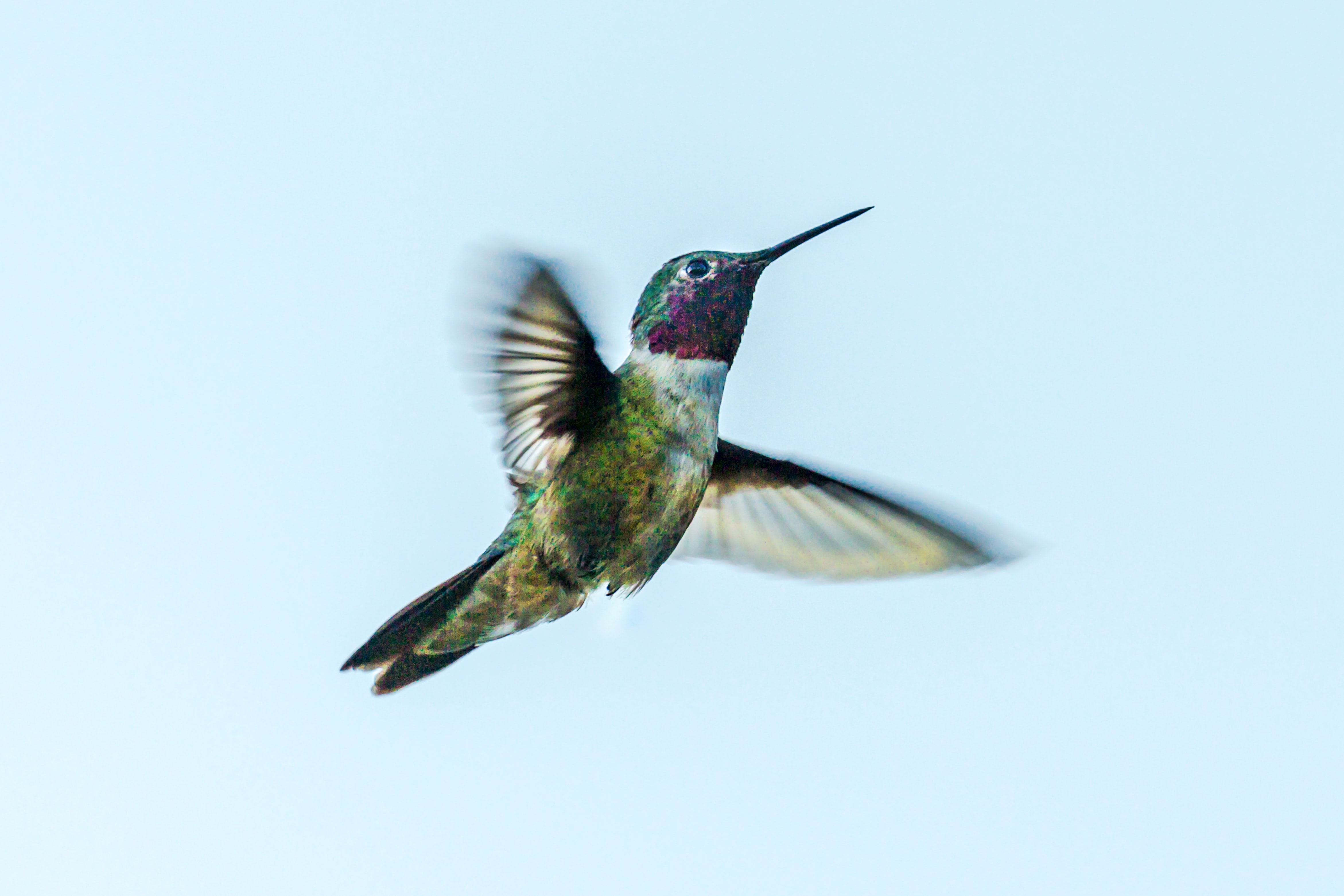 green Hummingbird spreading its wings