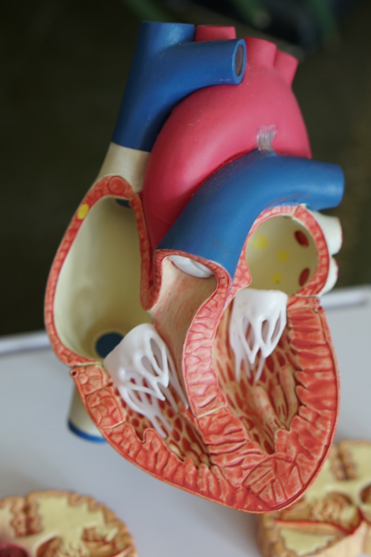 human heart scale model