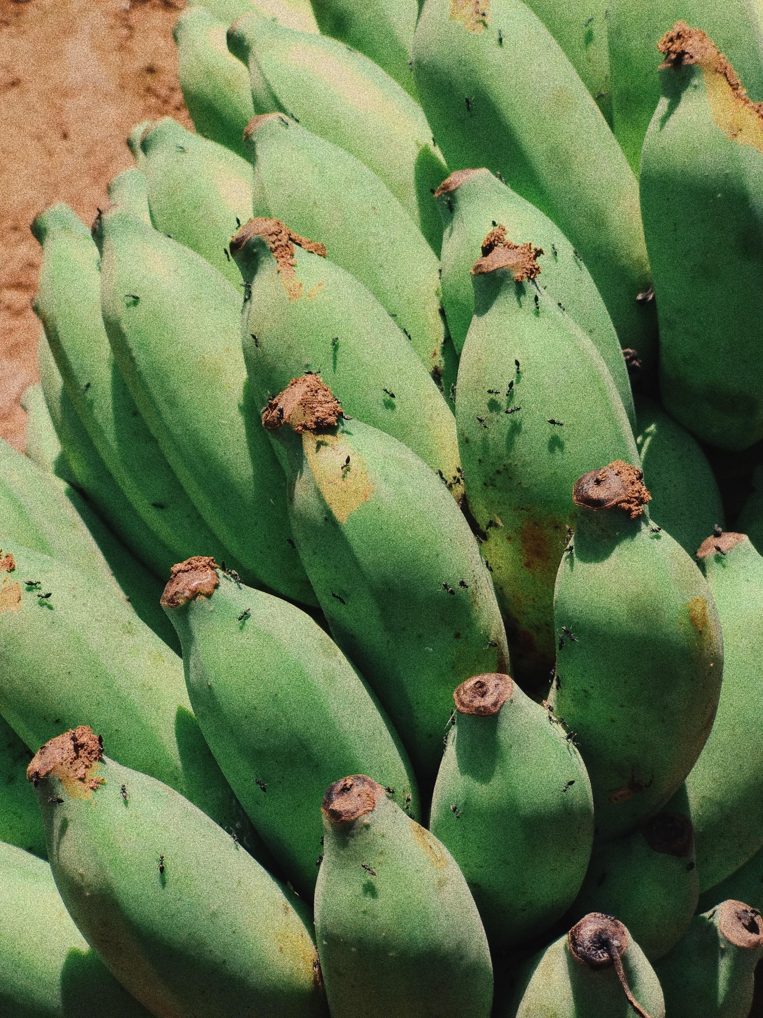 hand of green banana