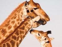 herd of Giraffe's