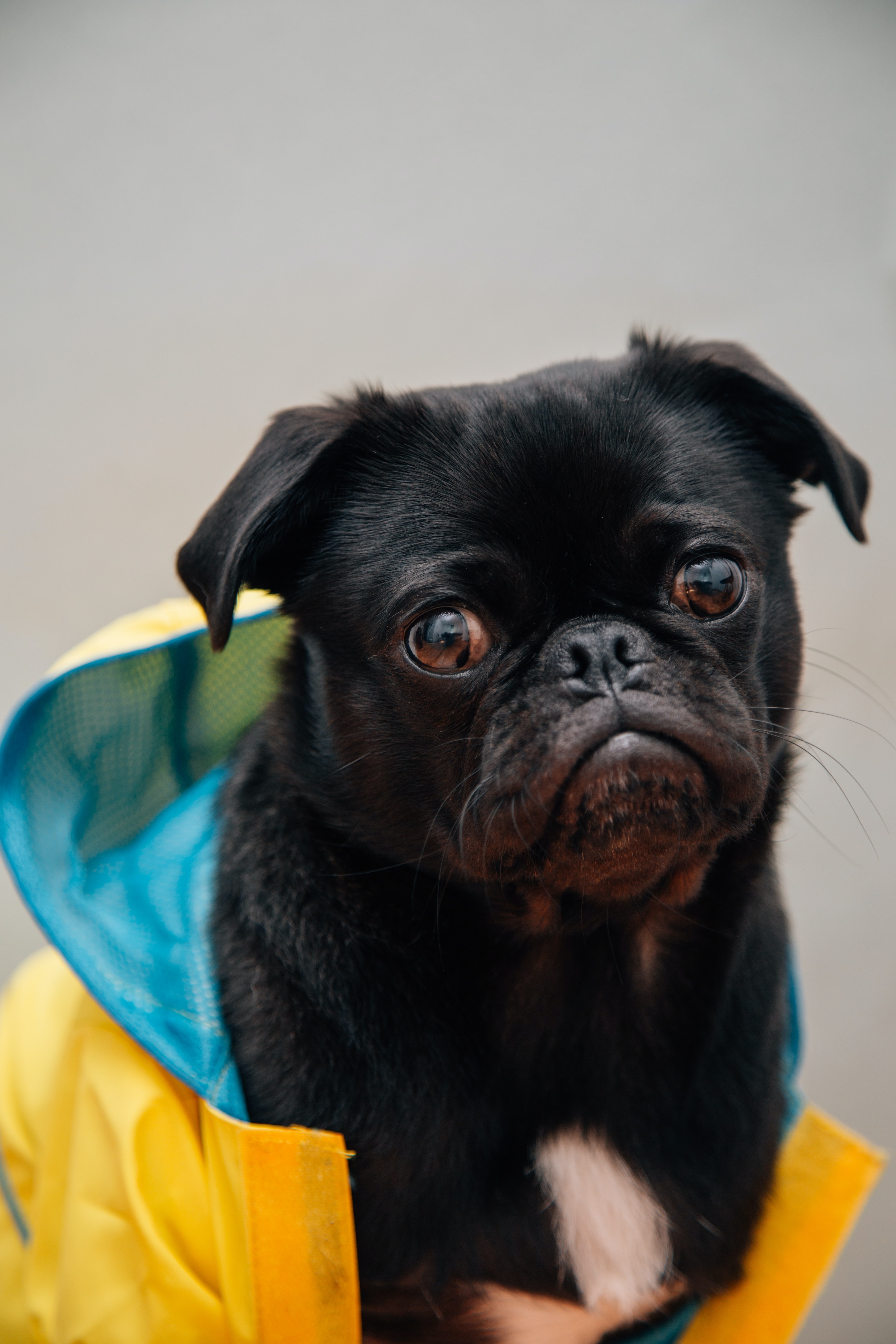 selective focus photography of black fawn pug