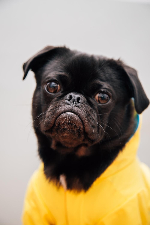 closeup photo of adult black pug wearing yellow shirt