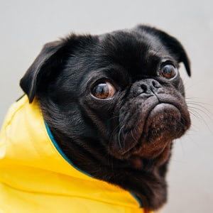 selective focus photo of black pug