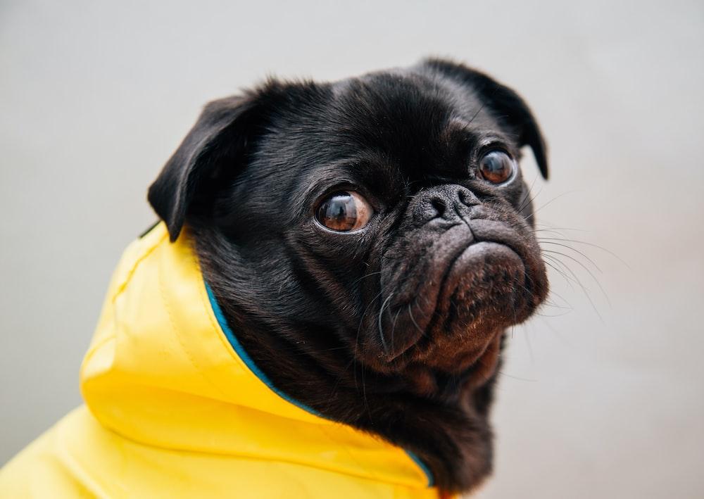 selective focus photo of black pug