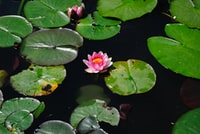 pink lotus flower beside water lily on water