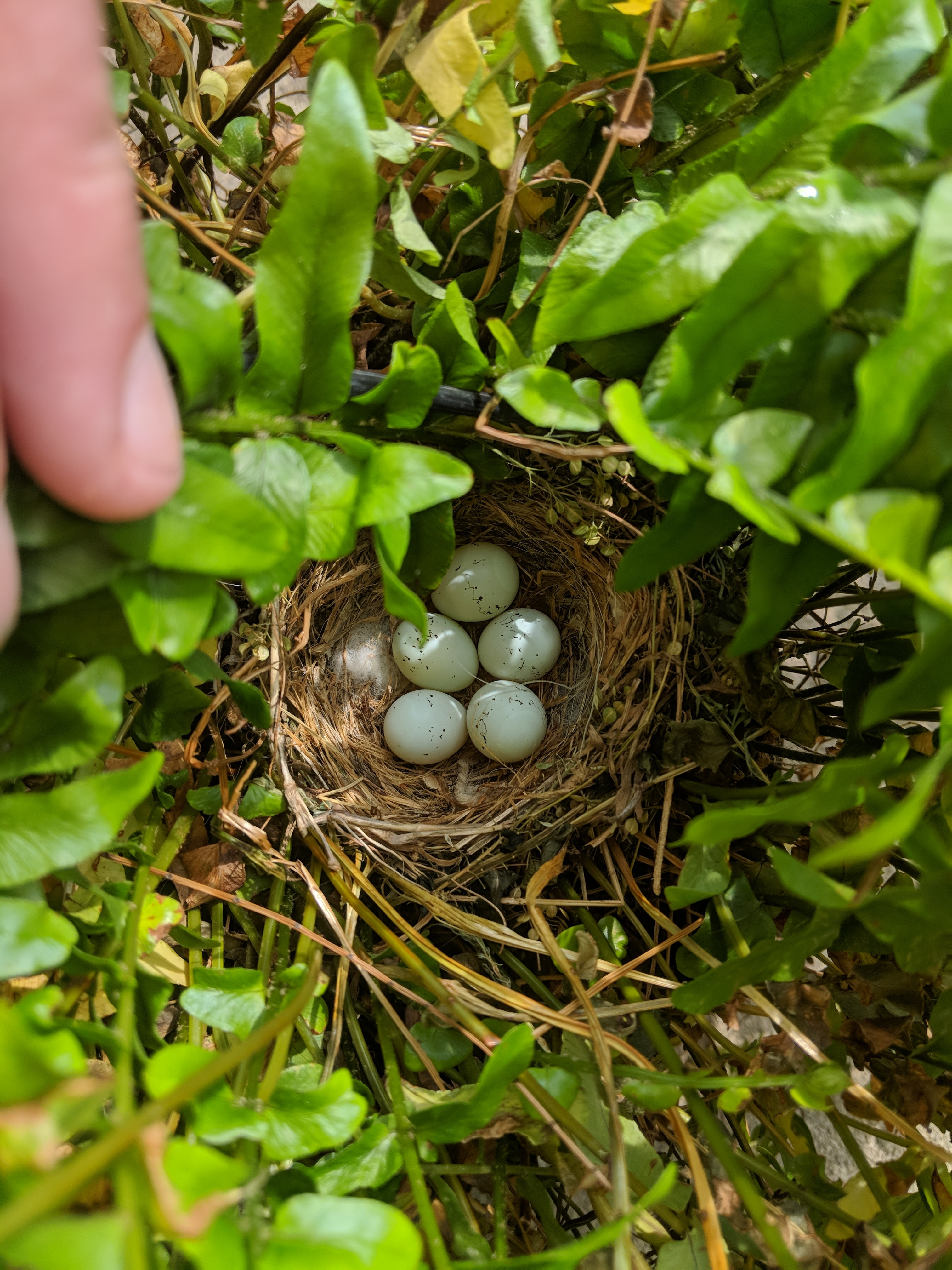 five birds egg on the nest