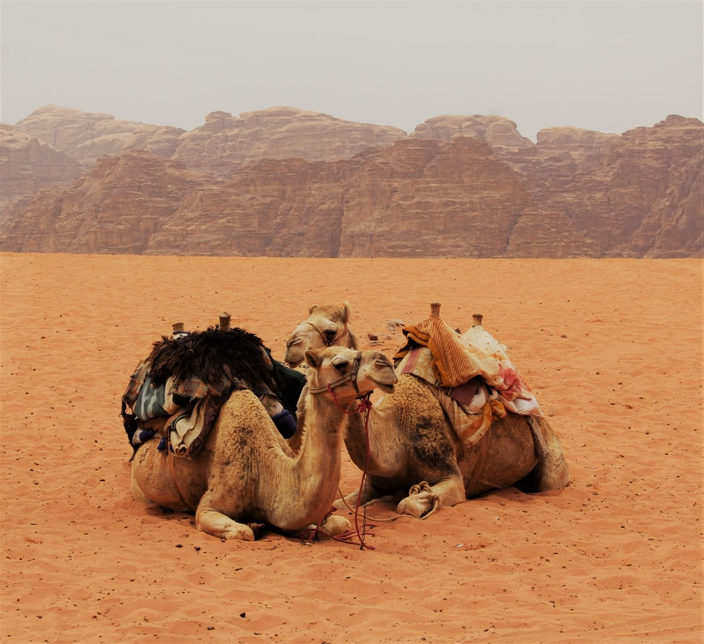 two camel sitting on brown sand near moutains