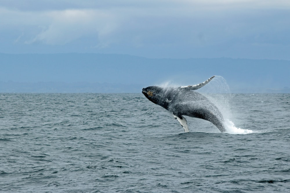whale jumping above water