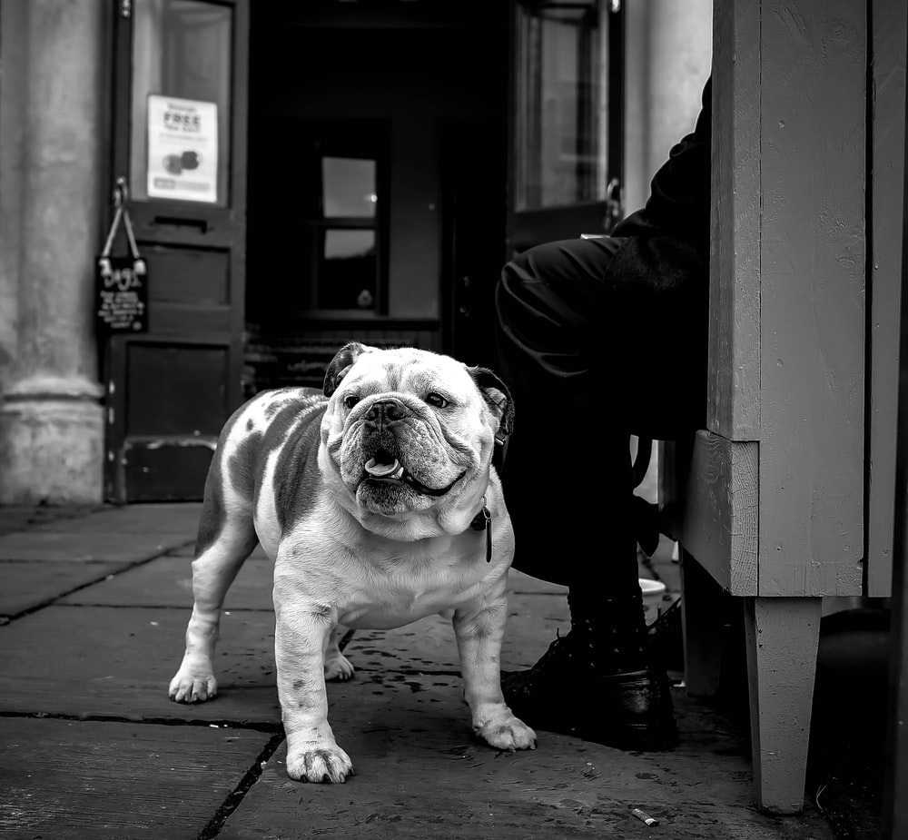 grayscale photo of English bulldog