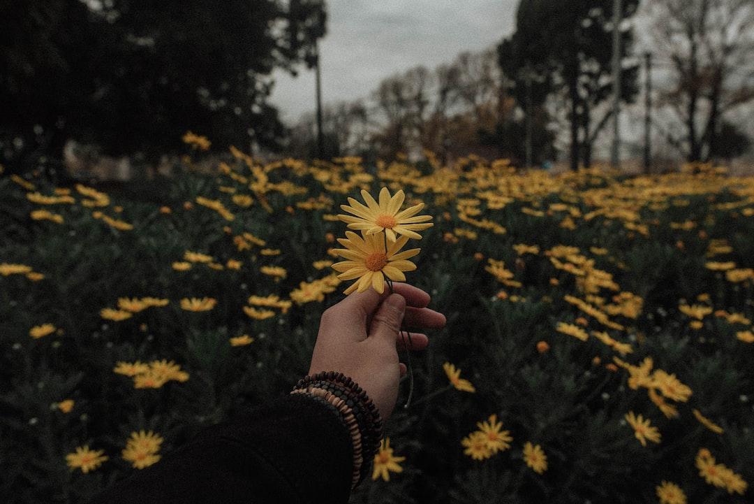 Person Holding Yellow Daisy Flowers Photo Free Flower Image On Unsplash