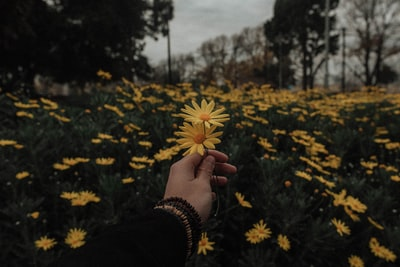 person holding yellow daisy flowers tumblr teams background