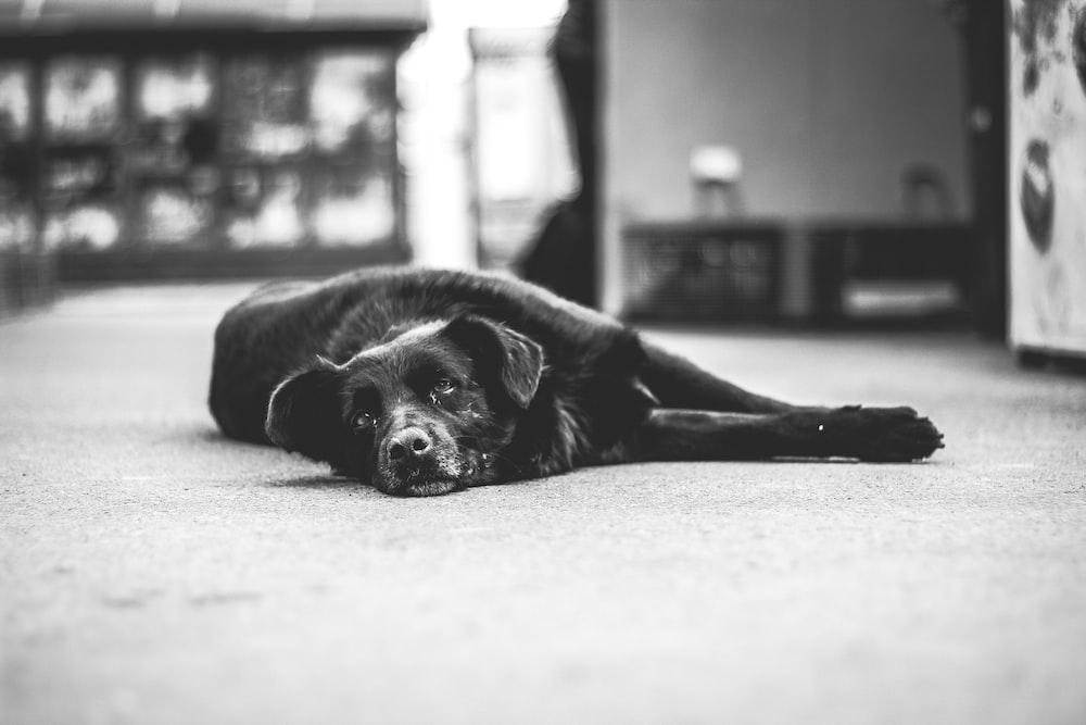 black dog lying on bed