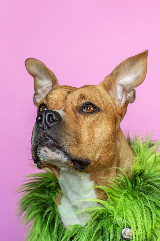 brown boxer dog