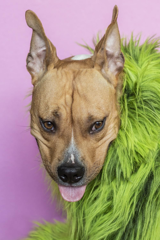 short-coated dog wearing green fur accessory
