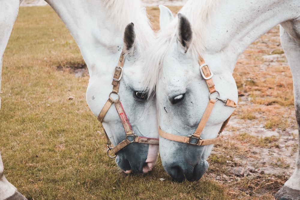 two white horses eatting grasses