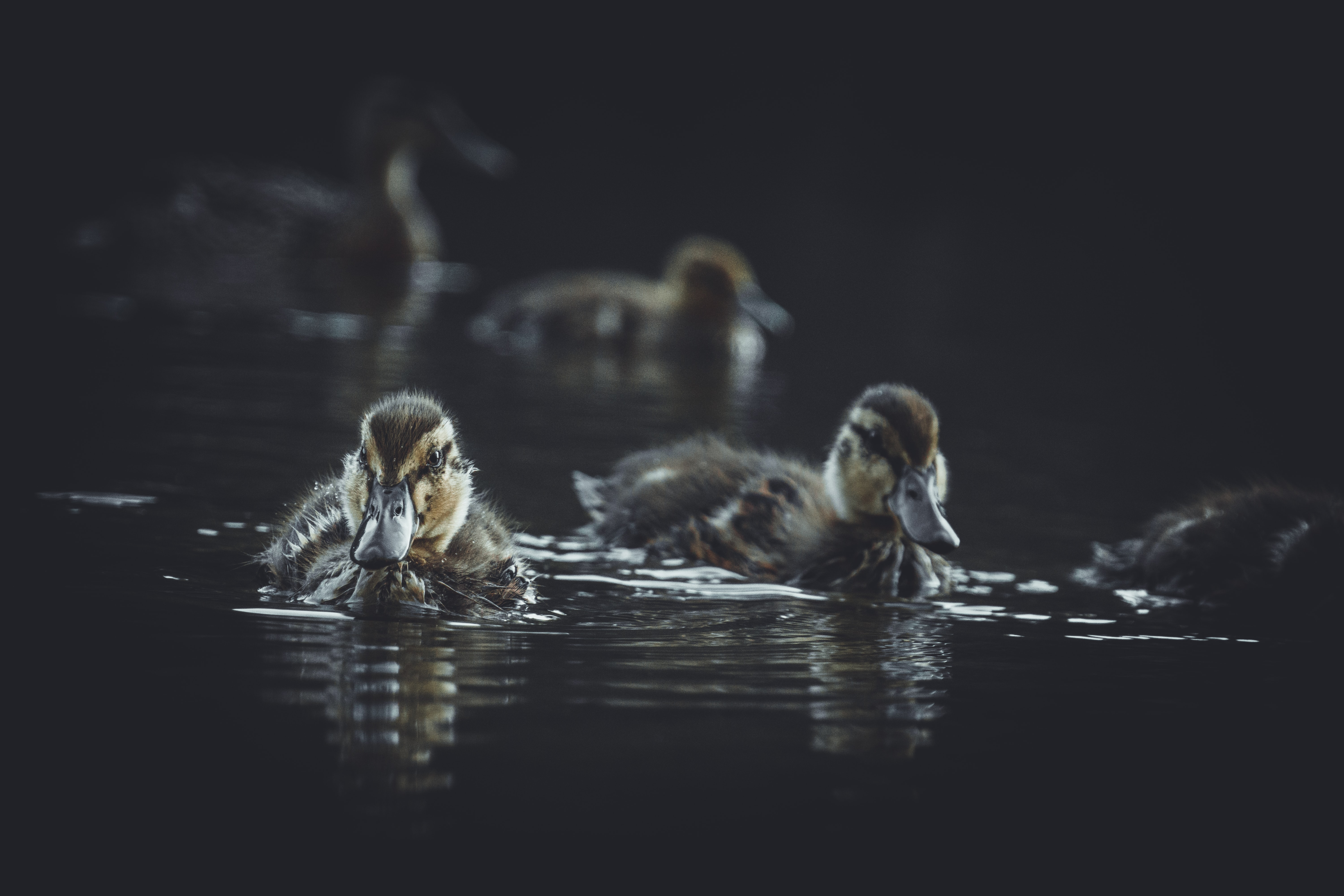 brown duck on body of water