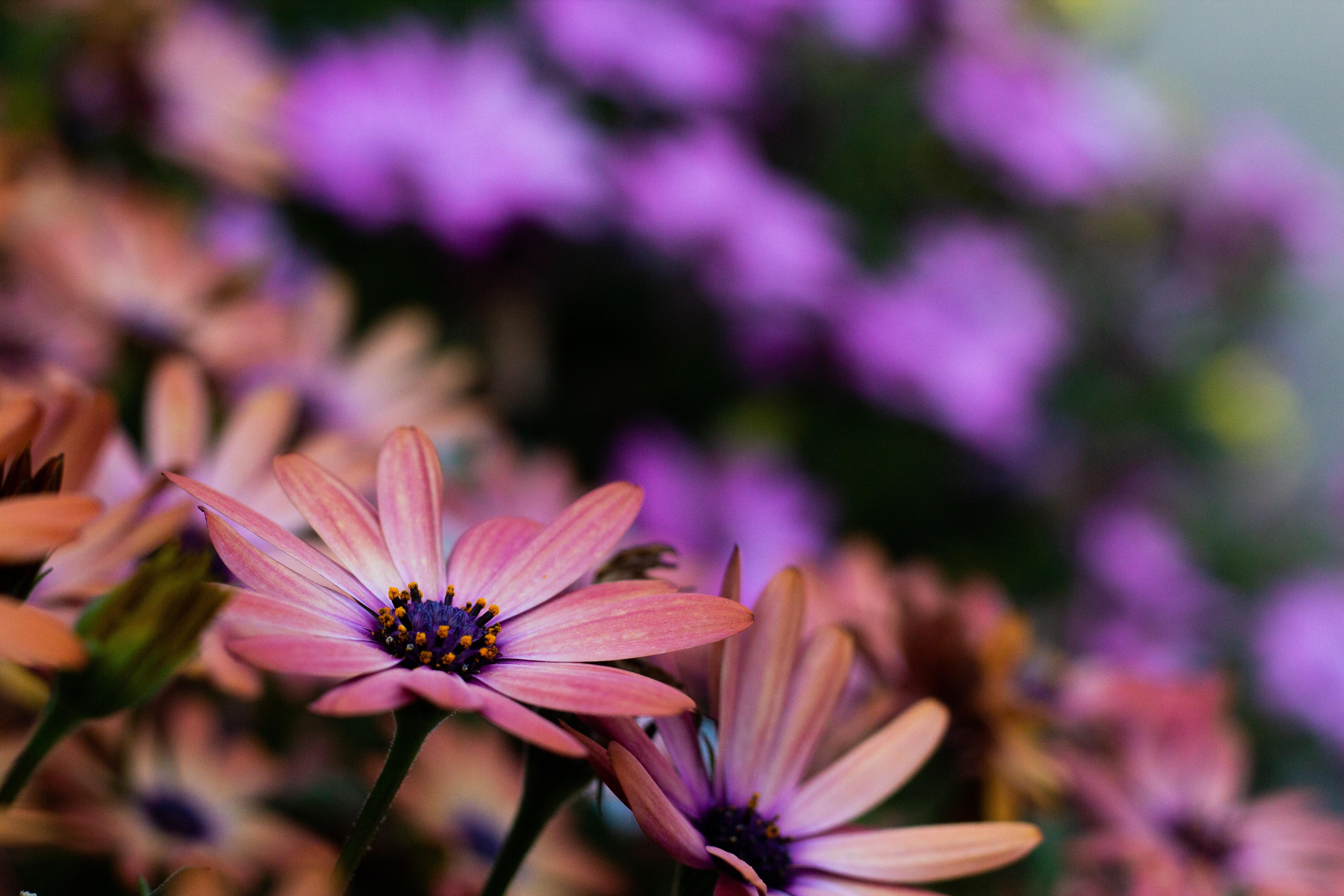 orange osteospermum flowers in bloom
