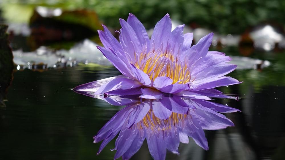 purple petaled flower on water