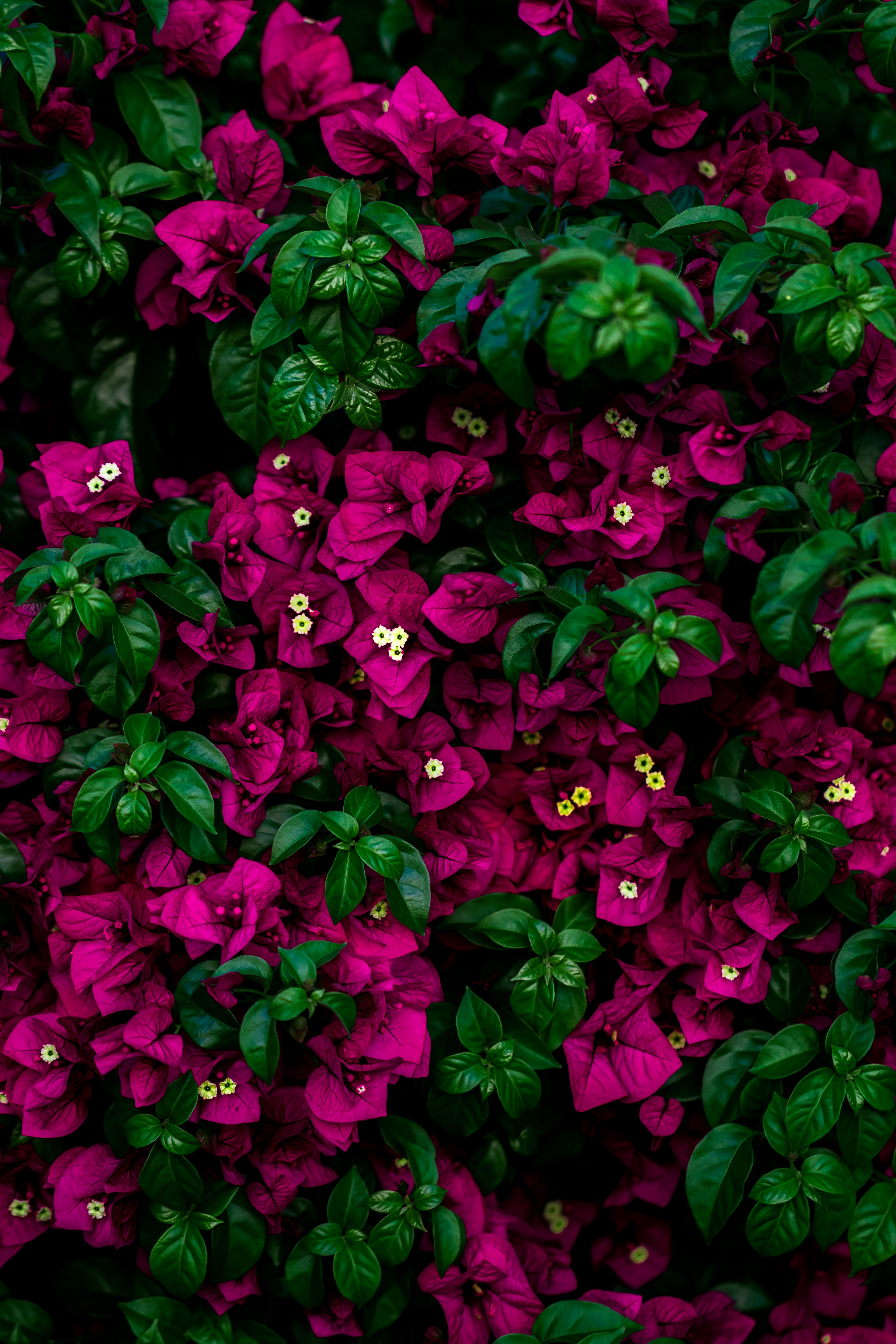 focus photo of pink flowers