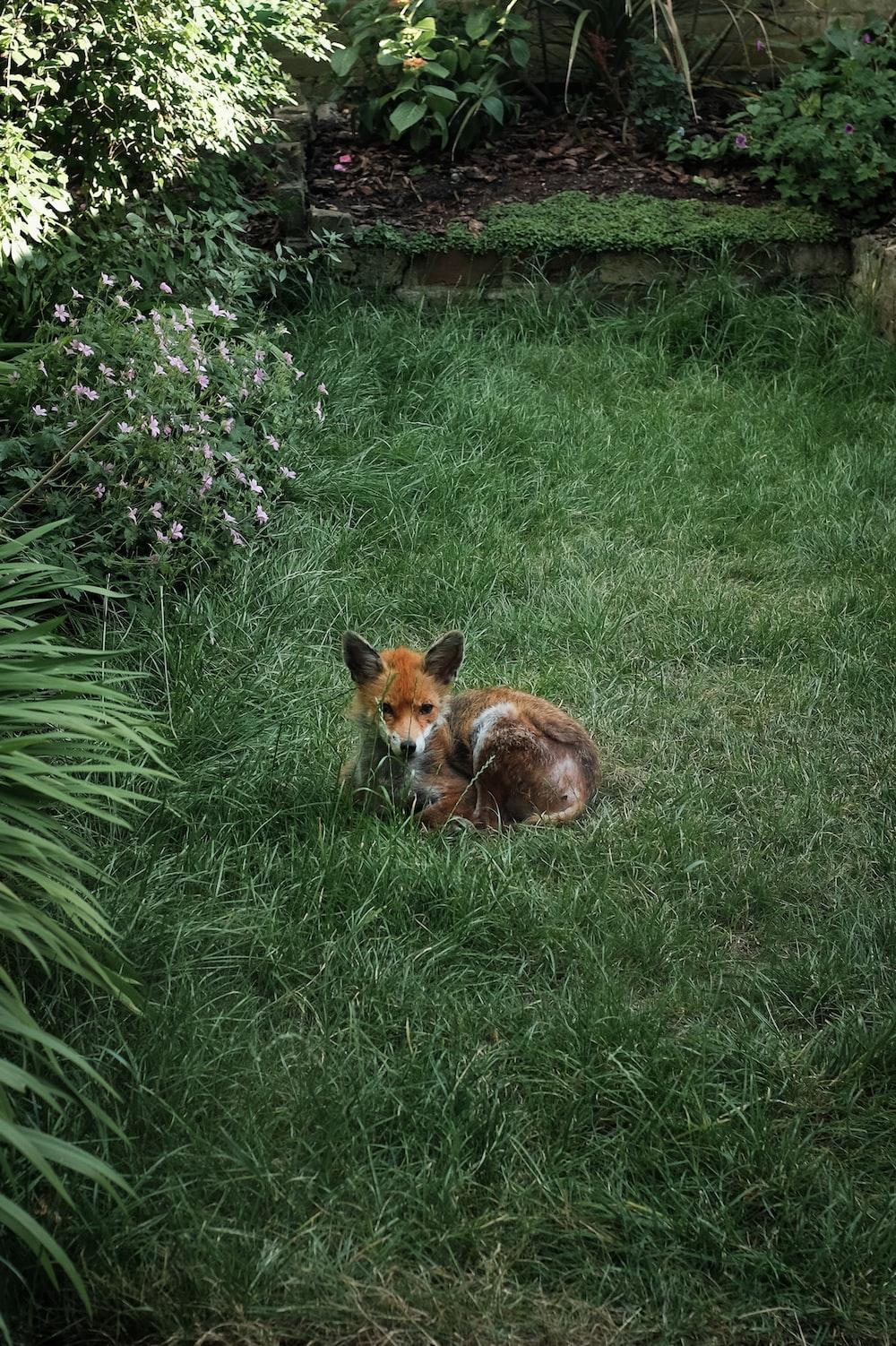 orange fox on grass