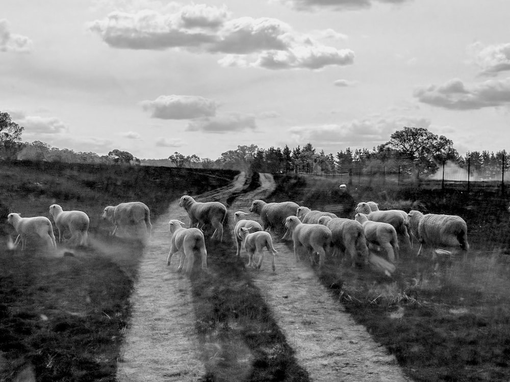 grayscale photo of herd of sheep