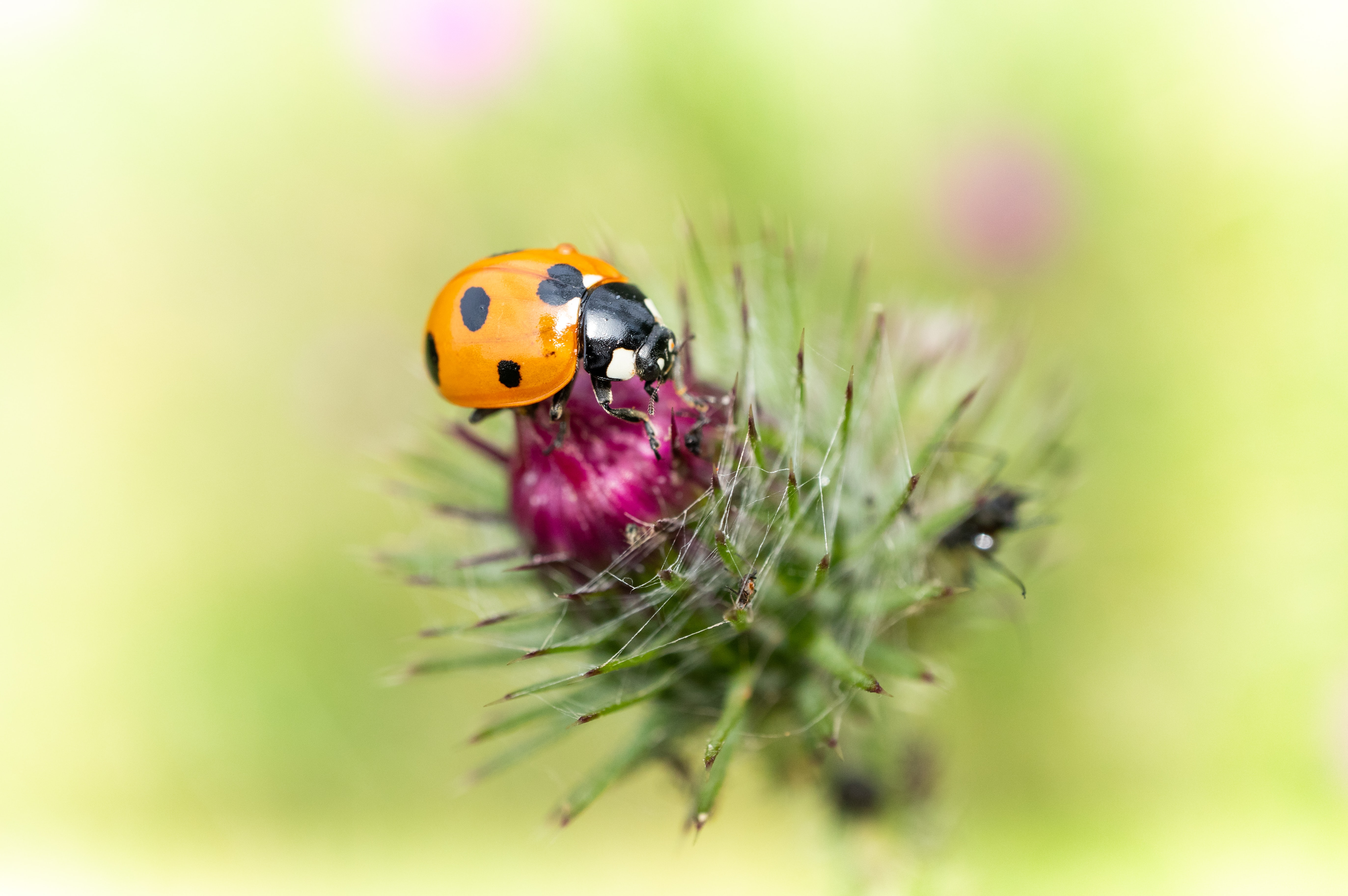 selective focus photography of ladybird on flower