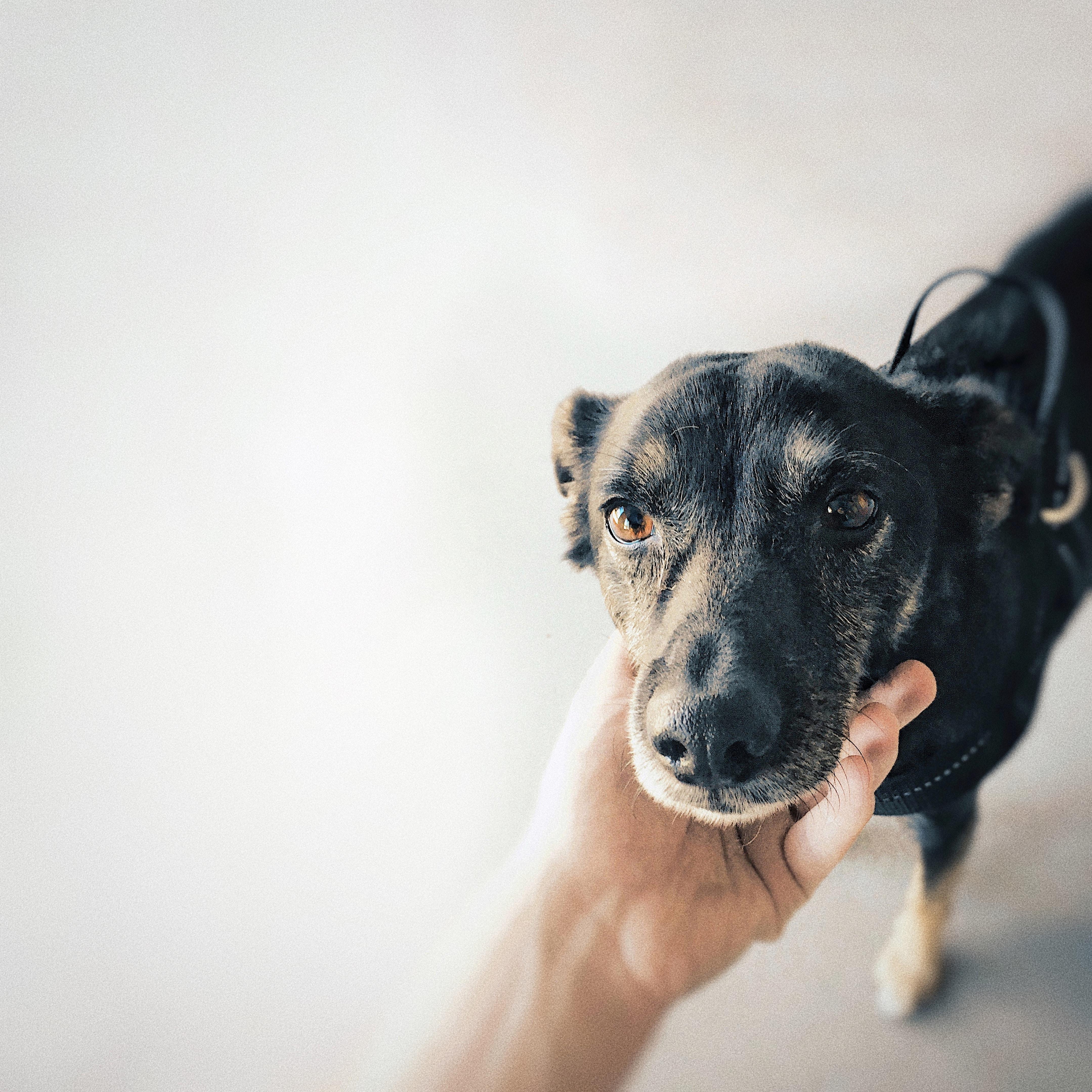 person holding short-coated black dog