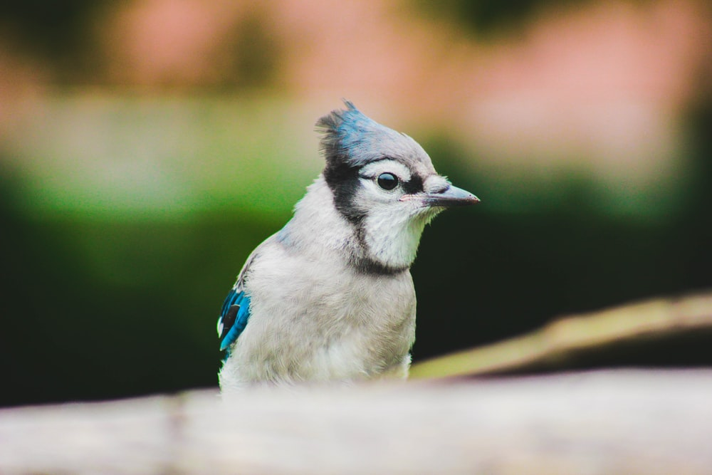 white and blue Blue Jay bird