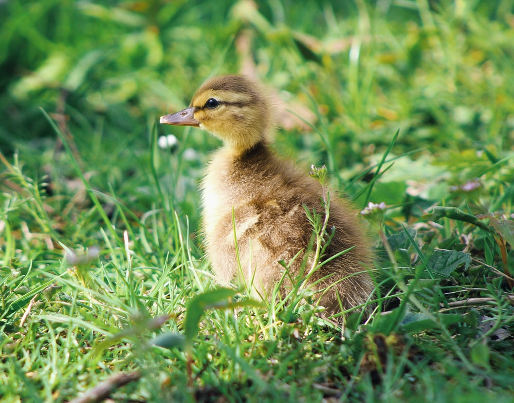 black and yellow duckling standing on green grass field at daytime