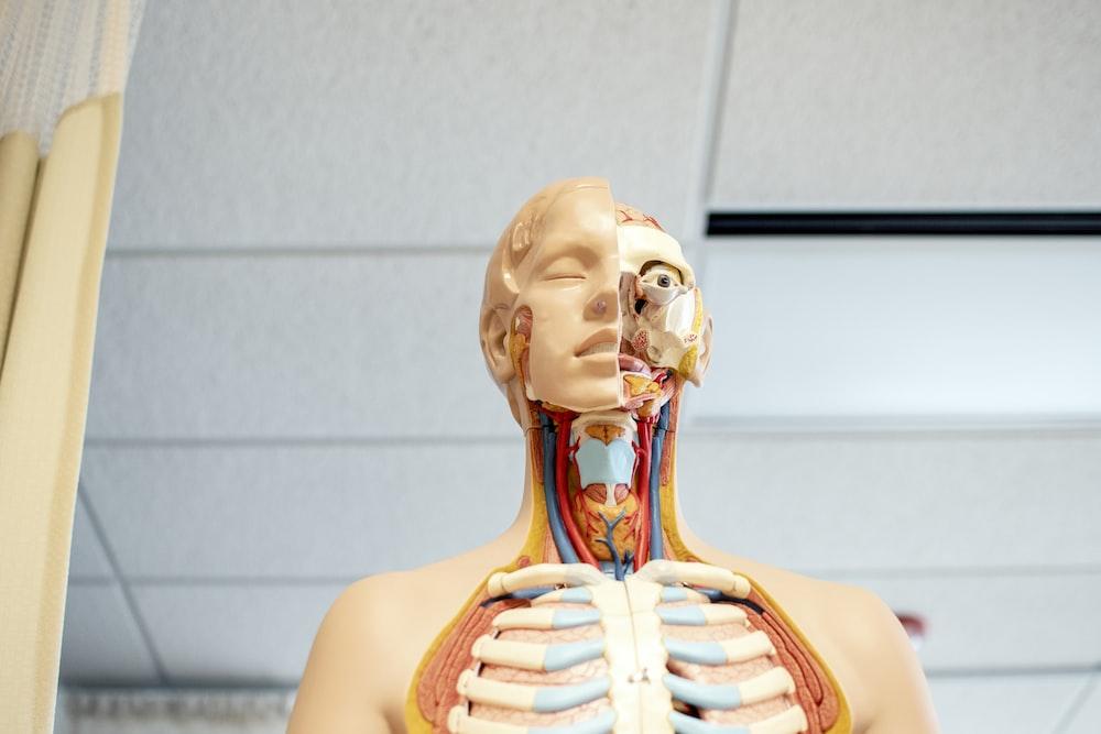 human anatomy figure below white wooden ceiling