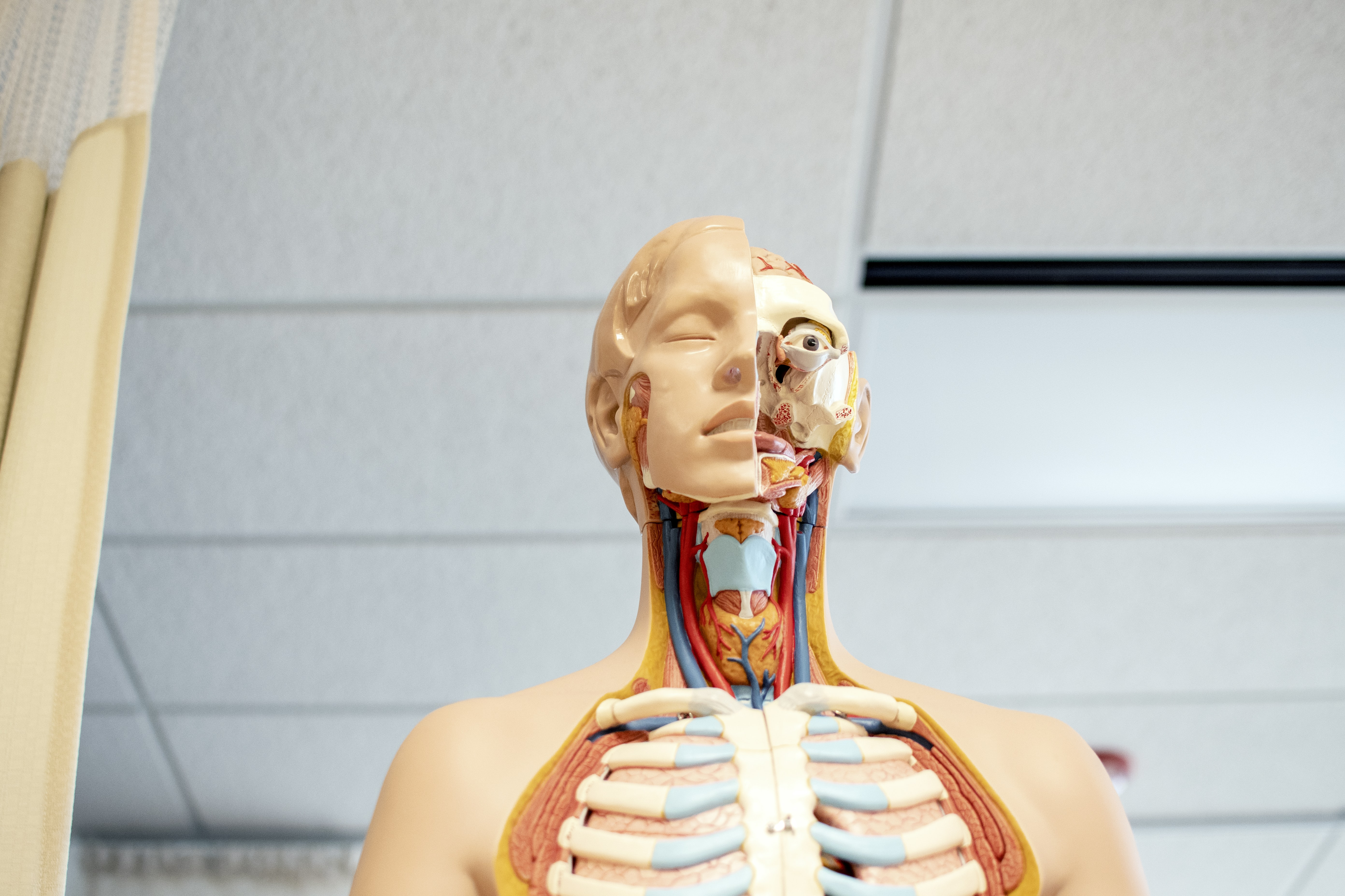 human anatomy figure below white wooden ceiling
