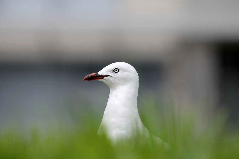 selective focus photography of white bird surrounded by grass