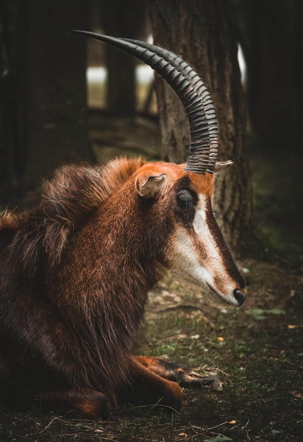 brown animal lying down