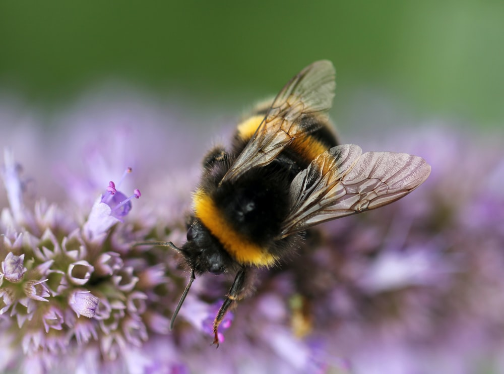 black and yellow bumblebee perch on a purple flower