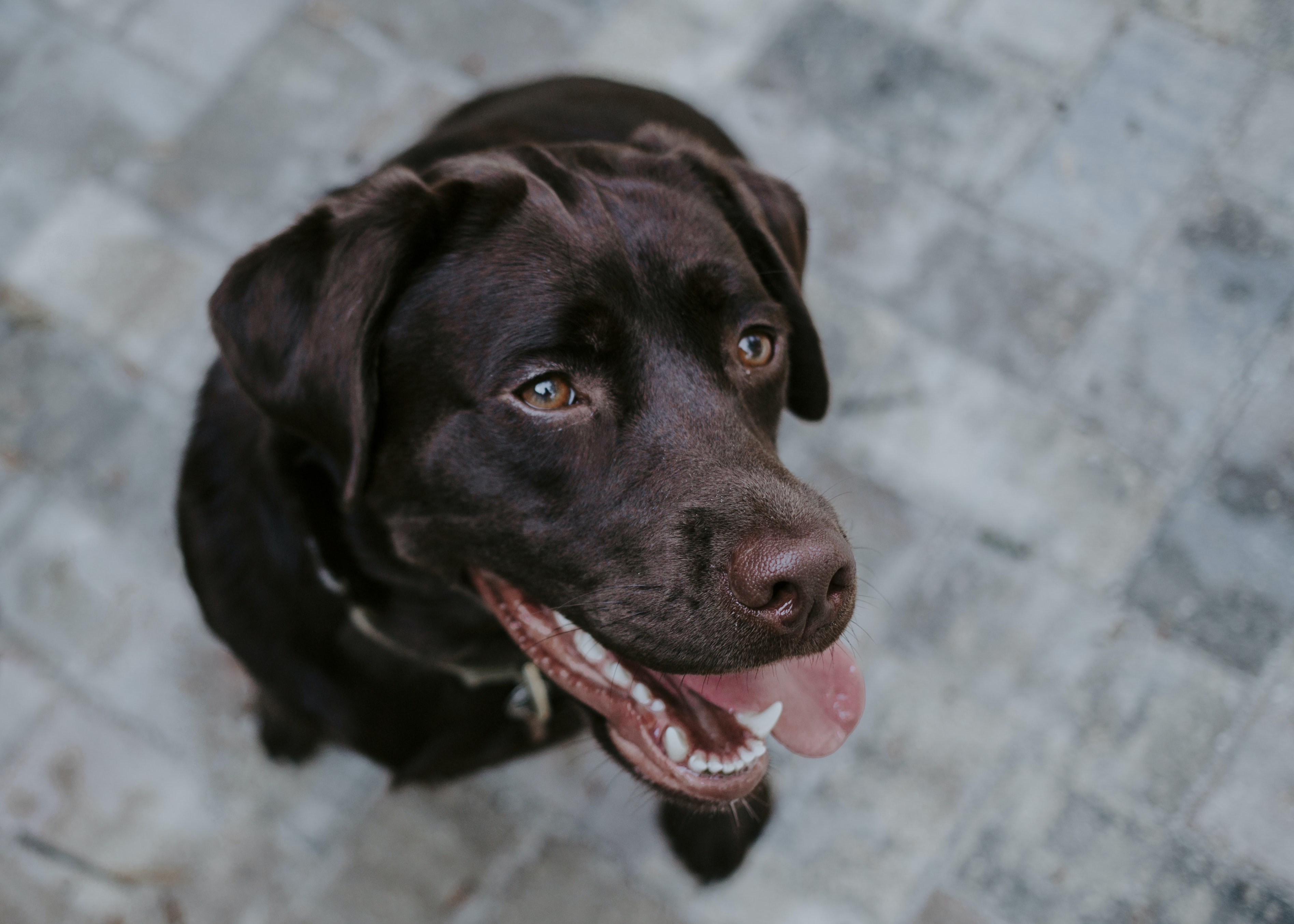 selective focus photography of chocolate Labrador Retriever