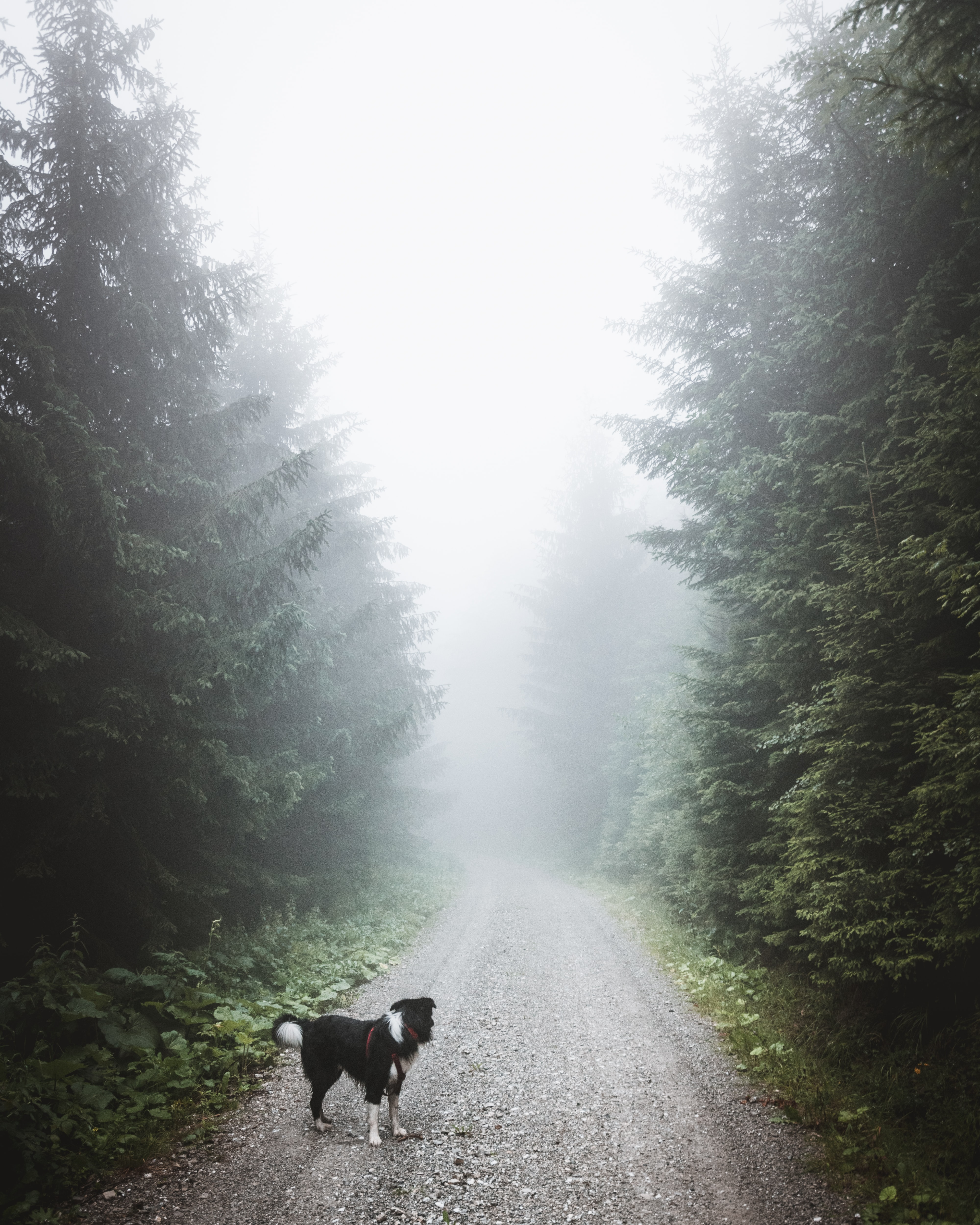 black and white dog standing on path surrounded by trees