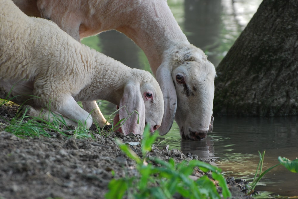 two white sheep drinking water