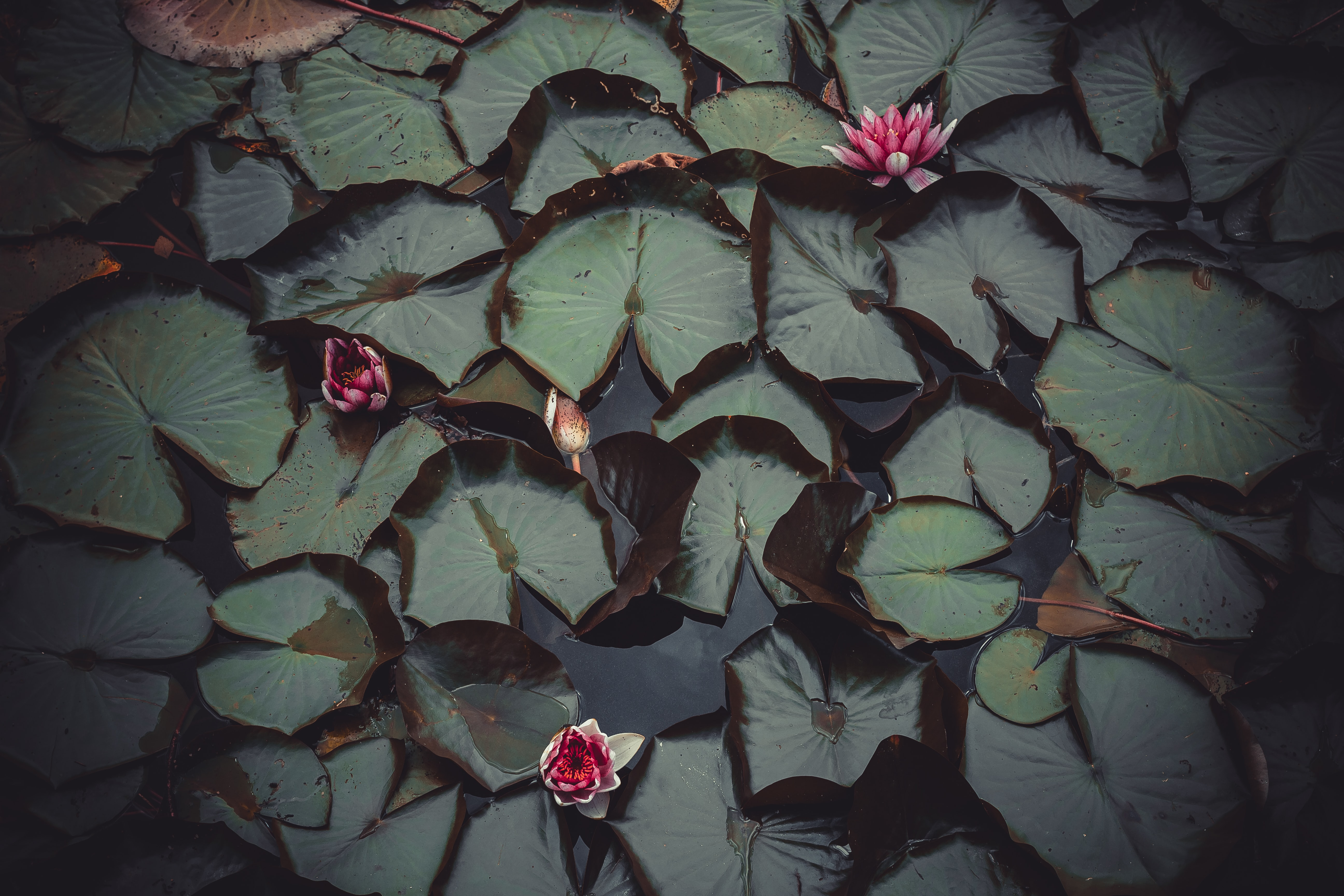 top view photography of red lotus flowers