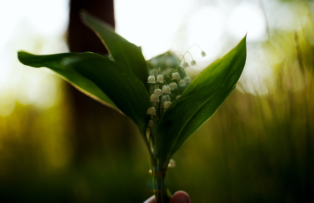Lily Of The Valley | Perennial Flowers For Growing A Secret Garden