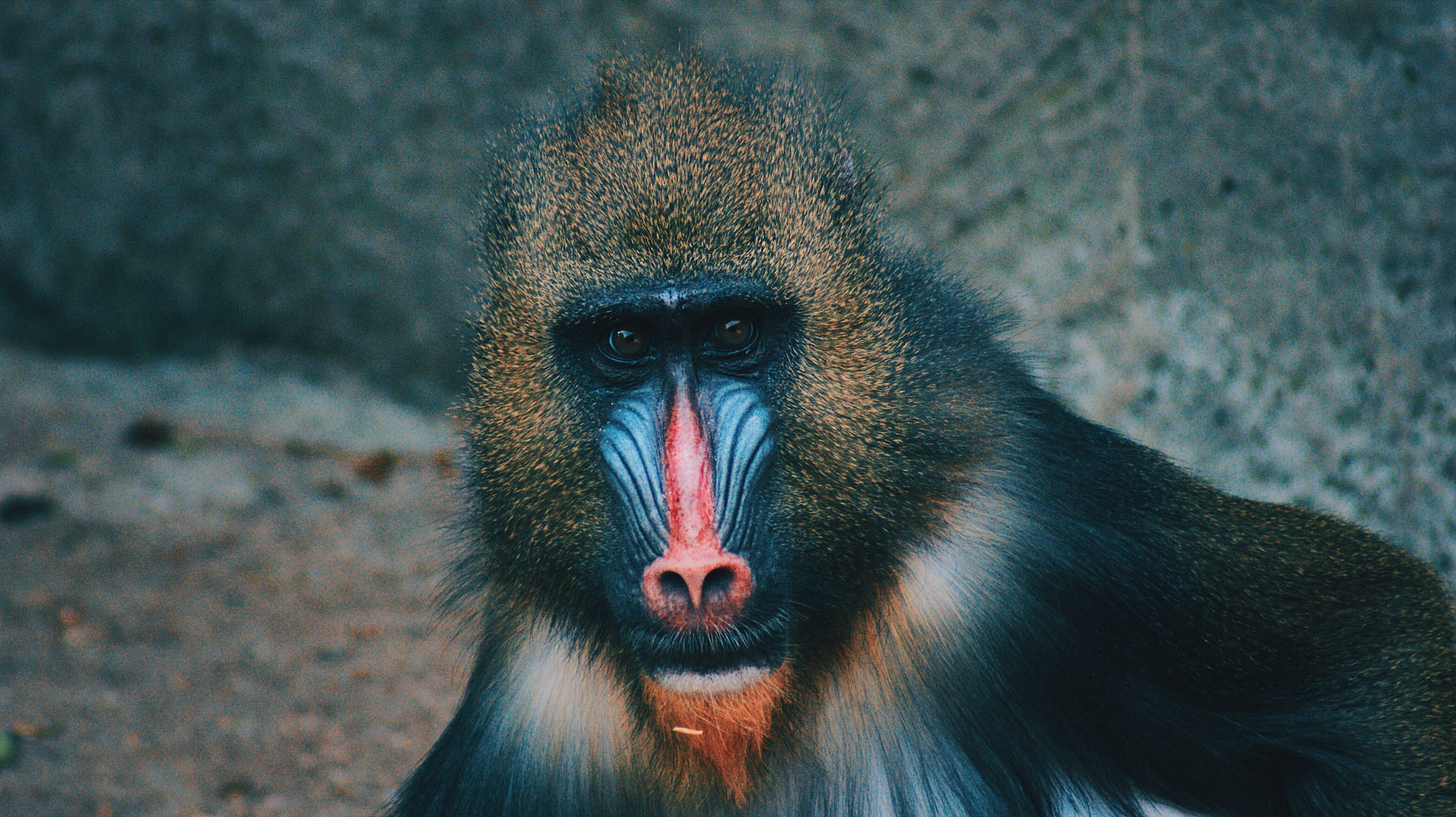 selective focus photography of baboon