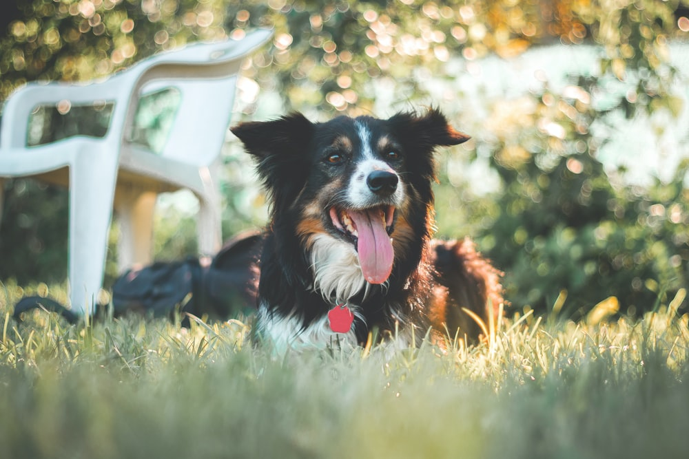 selective focus photography of long-coated black and white dog