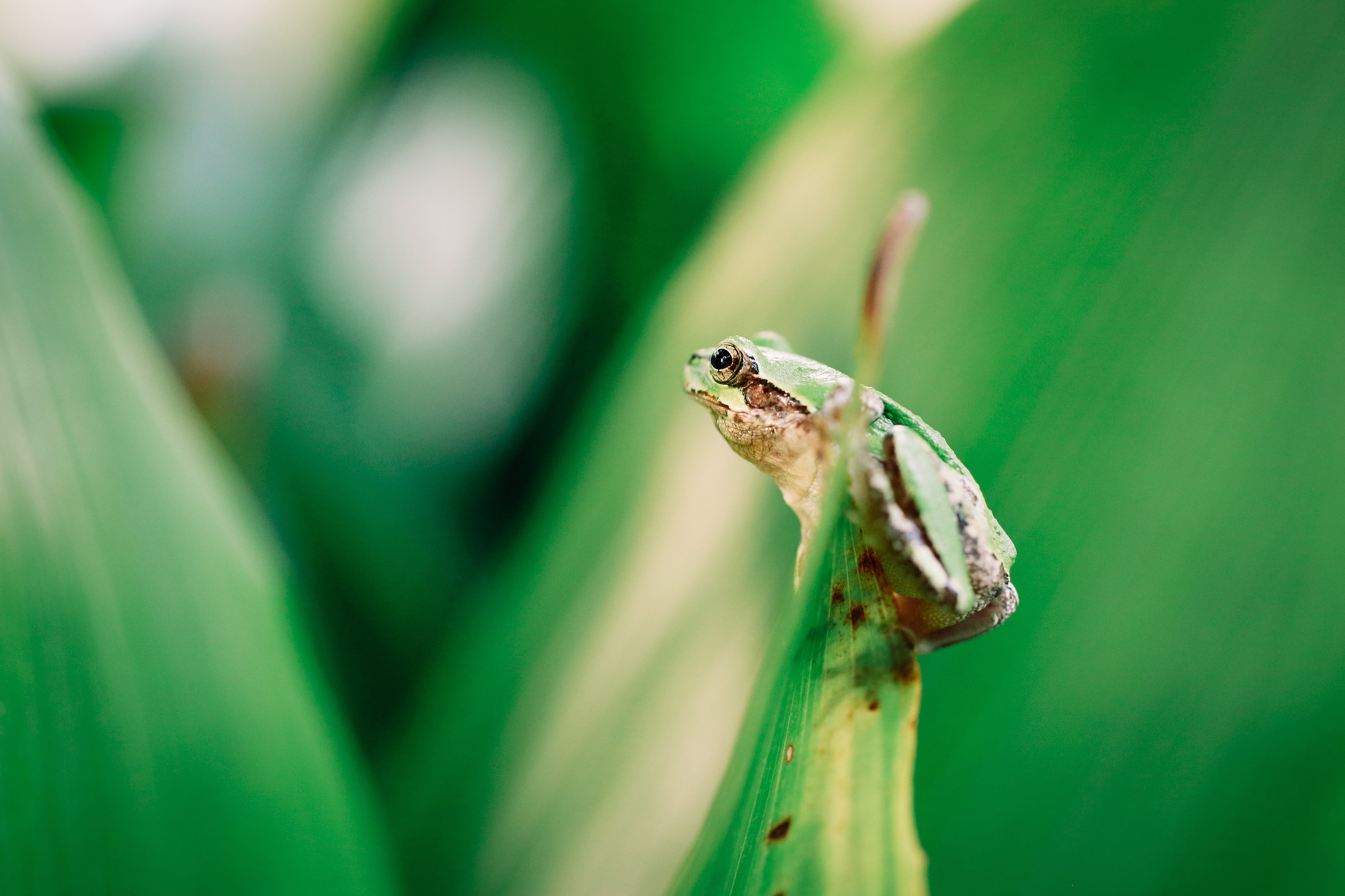 selective focus photography of green frog on green leaf