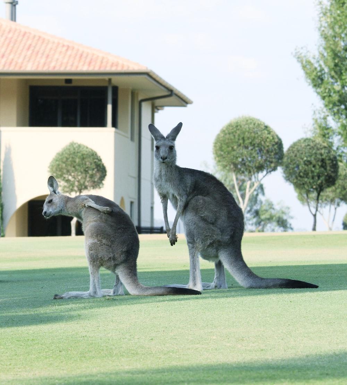 two kangaroo standing on grass field